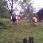 Milka lehmad, uudishimulikud nagu Eestiski